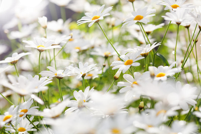 Summer Flowers. White summer flowers (daisies) in sunlight royalty free stock image