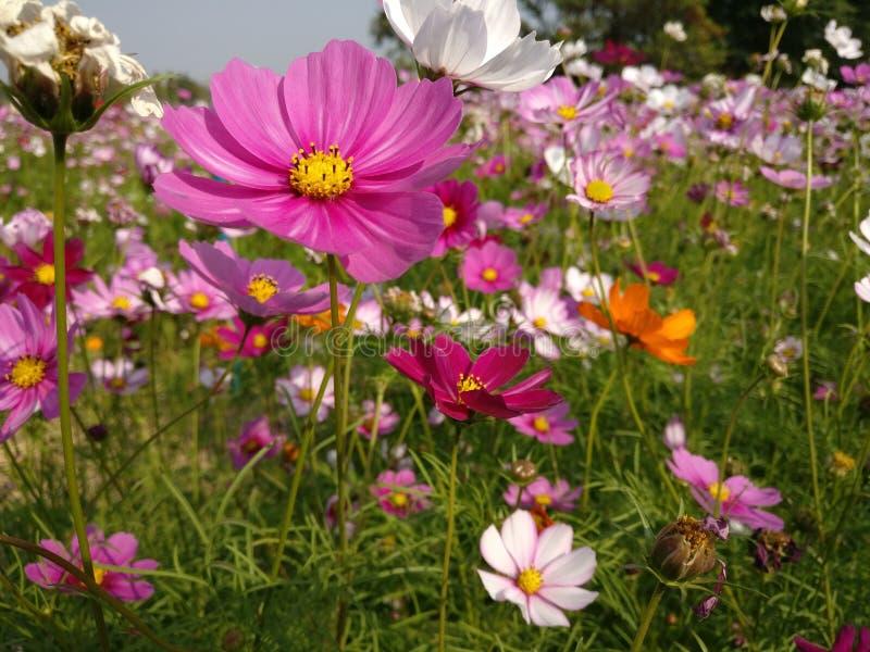 Summer Flowersin December. Flower, flowers, field, pink, December, field flower, summer, summer flowers, pink flower, white flower royalty free stock images