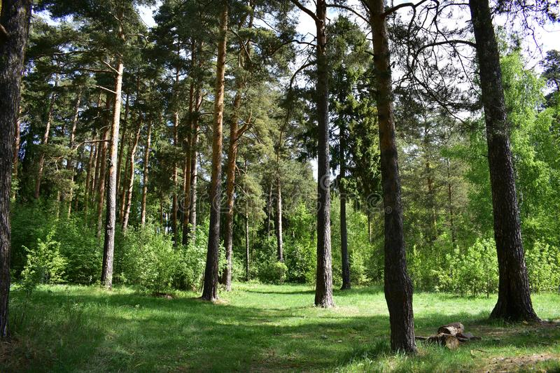 Summer forest of conifers in the shade of powerful pine trees fresh young grass royalty free stock photo