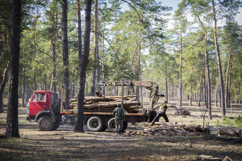 In the summer in the forest deforestation. Two men are loading logs on a car. In the summer in a pine forest deforestation. Two men are loading logs on a car royalty free stock image