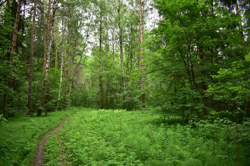 Summer in the forest on the grass dew, trail through trees and shrubs royalty free stock photos