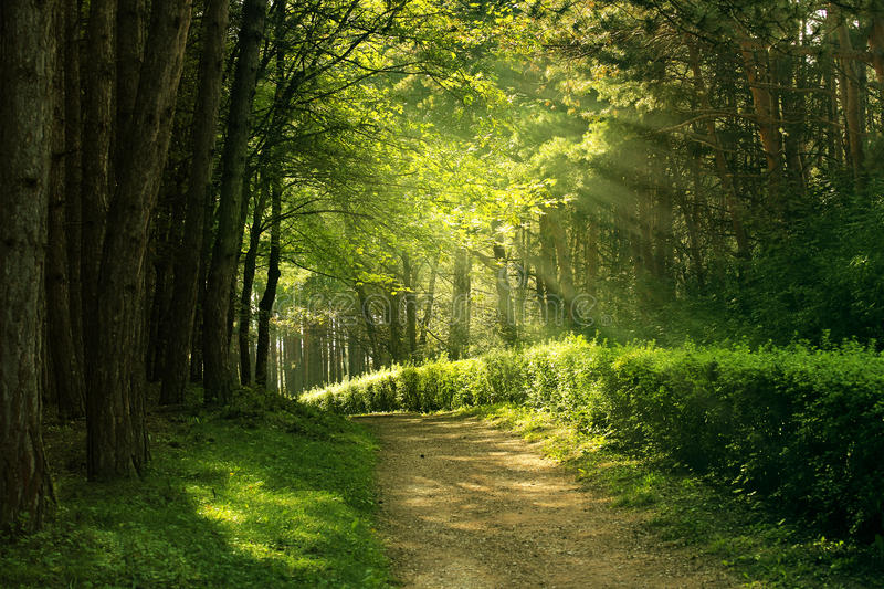 Summer forest. Green summer forest - natural background royalty free stock photo