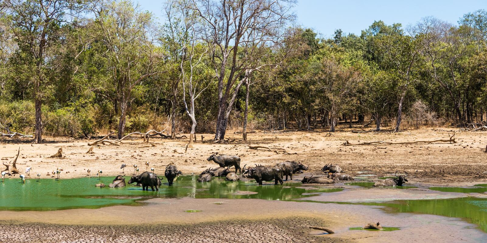 Summer forest landscape with a herd of wild asian buffalo stock photo