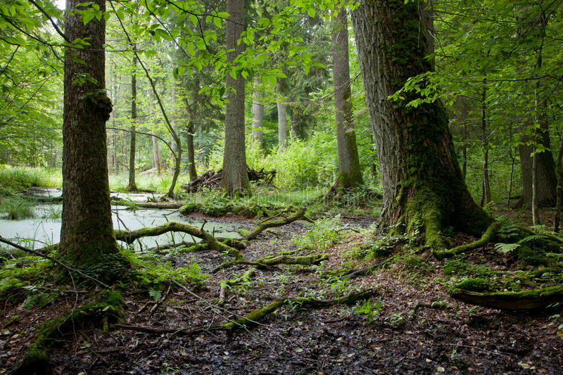 Summer forest landscape with old trees and water royalty free stock image
