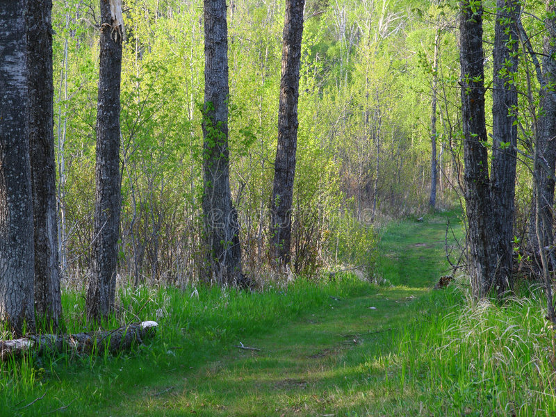 Download Summer forest in Minnesota stock photo. Image of path - 5432970
