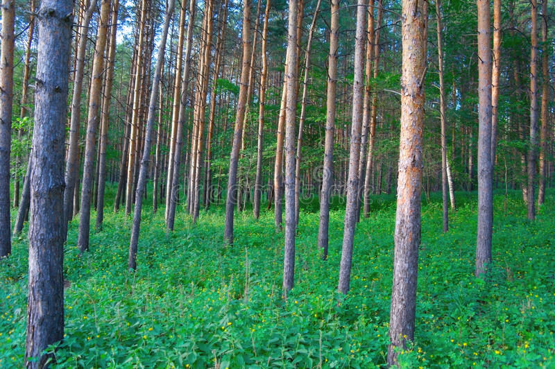 In Summer Forest With Pines Stock Photos