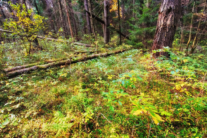 Summer forest. In sunny weather royalty free stock photography