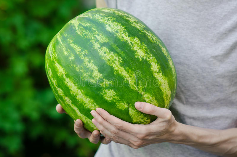Summer and fresh watermelon theme: a man holds a watermelon on the green background royalty free stock images