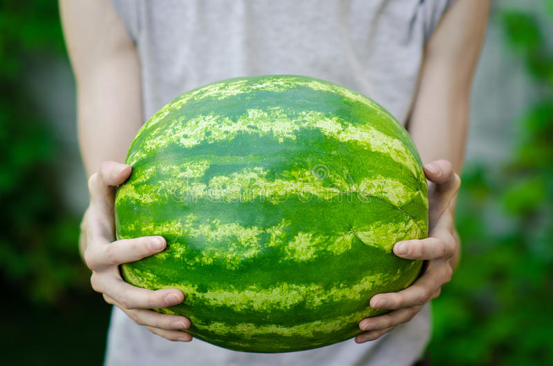 Summer and fresh watermelon theme: a man holds a watermelon on the green background. Studio royalty free stock photo