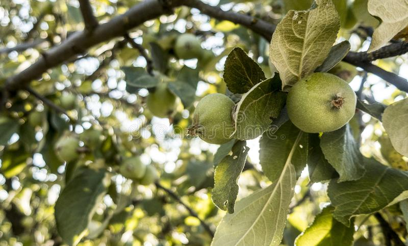 Summer fruits healthy food pear green leaves recreation. Travel garden stock photography