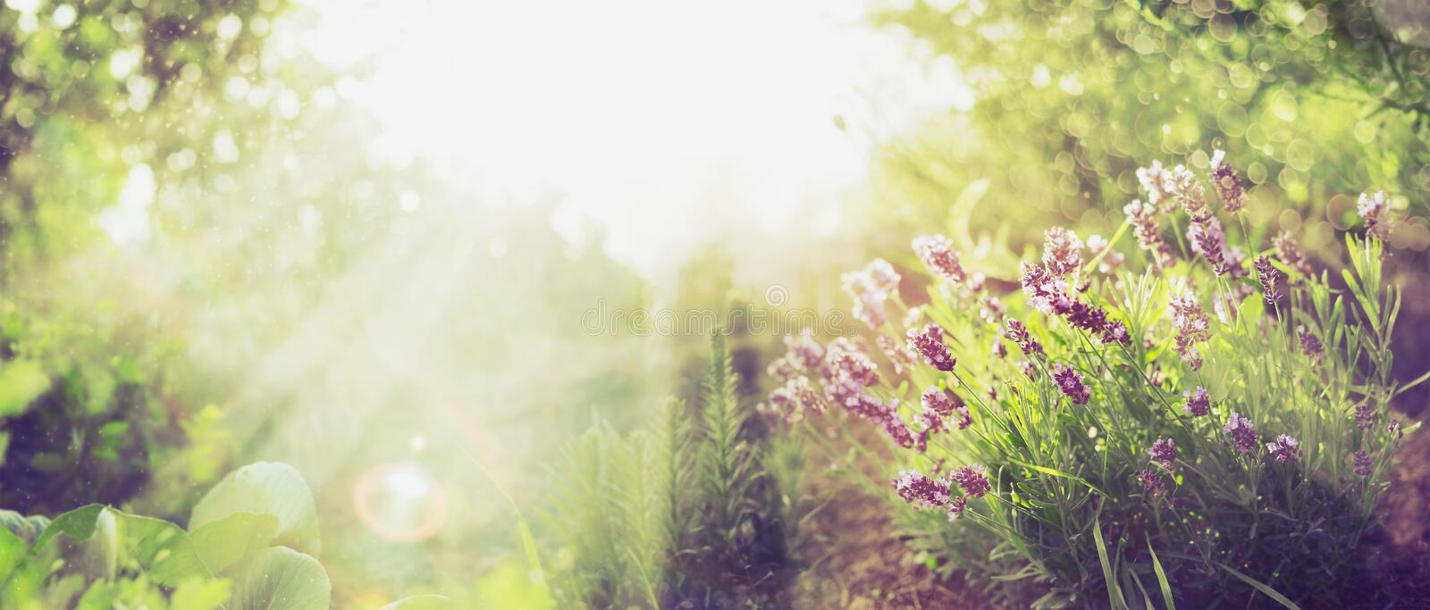Summer garden background with lavender and Sun rays , banner for website. With gardening concept stock image