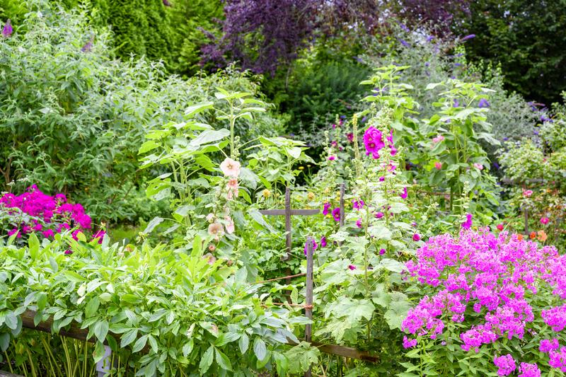 Beautiful flowering summer garden with blooming pink phlox, hollyhocks and butterfly bush royalty free stock photography