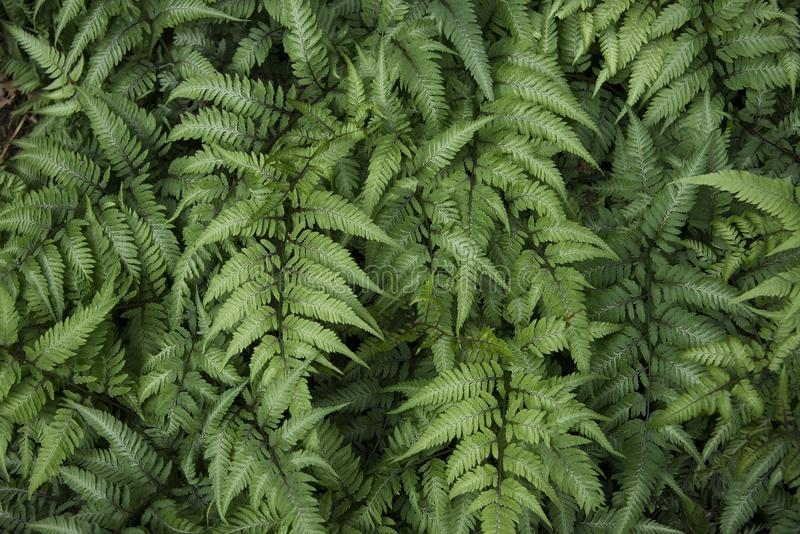 Green Ferns in a Garden Bed. Summer garden of green ferns, shows the details of the fronds royalty free stock images