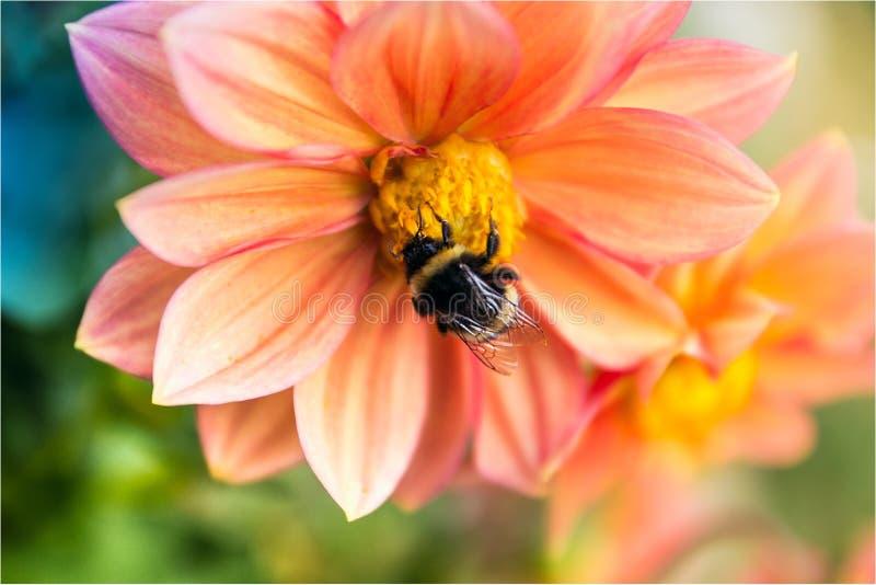 Hard-working bee royalty free stock photos