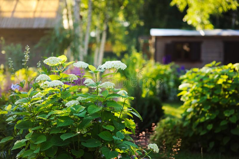 Summer garden view in june with hydrangea Annabelle bush blooming. In sunny day stock photo