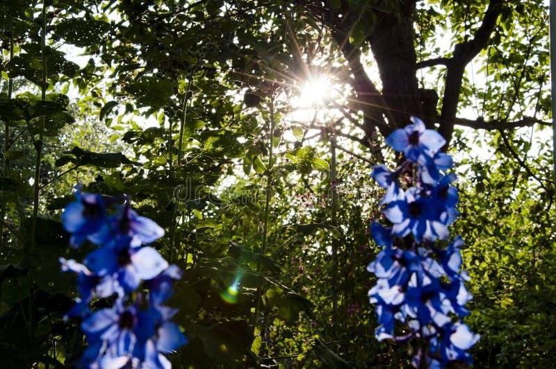 Summer garden. villatic holiday season. spring bloom. nature environment, ecology. morning. larkspur flowerbed. Delphinium flower royalty free stock image