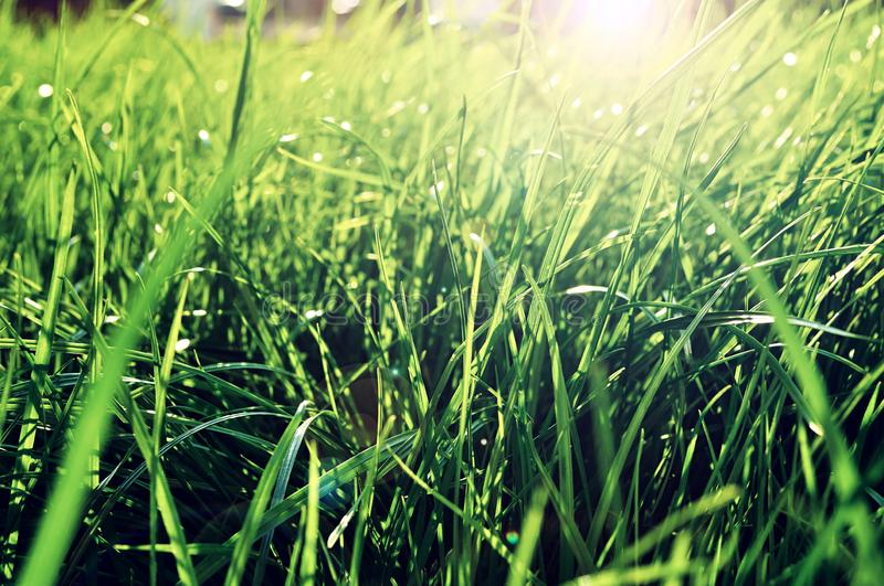 Summer grass background - closeup of fresh bright green grass on the lawn lit by shining sunbeams. Grass landscape. Lowest point of shooting stock photos
