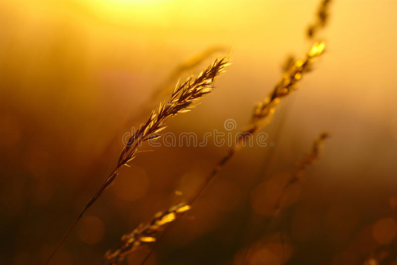 Summer Grass Sunset. In hot summer evening with blurred background and warm colors stock images