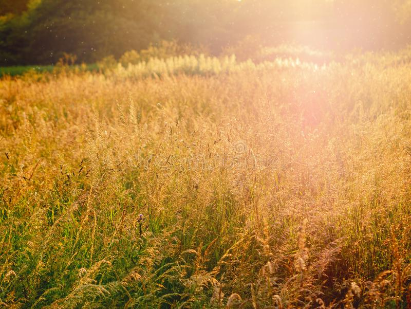 Summer grass at sunset, Selective focus, Warm colors, abstract background, sun flare in the background royalty free stock photography