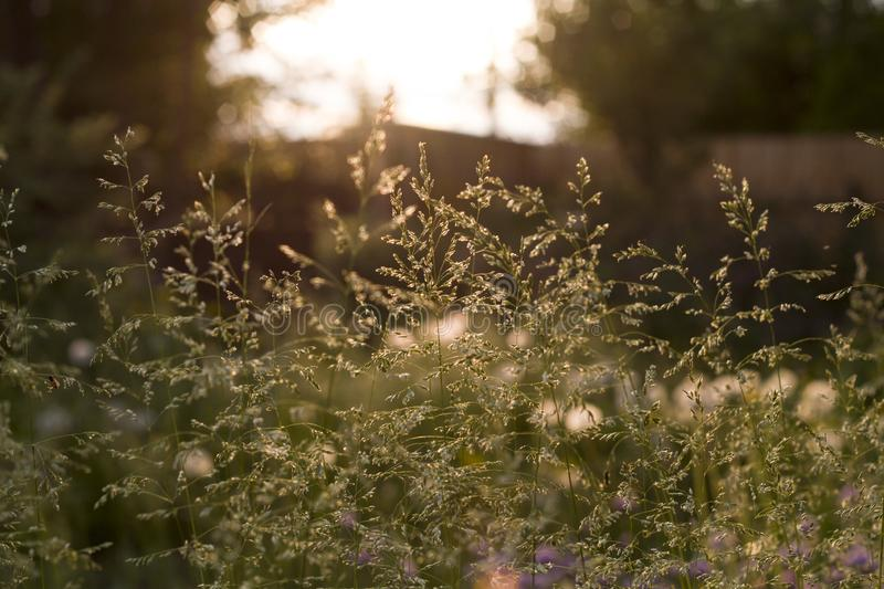 Summer grass in the sunshine close up. On a dark blurred background royalty free stock images