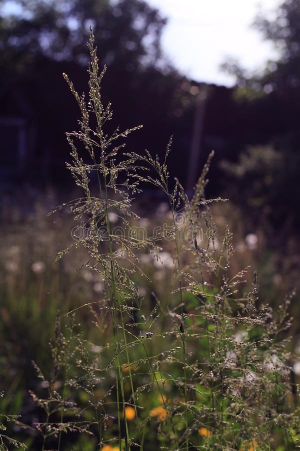 Summer grass in the sunshine close up. On a dark blurred background royalty free stock photos