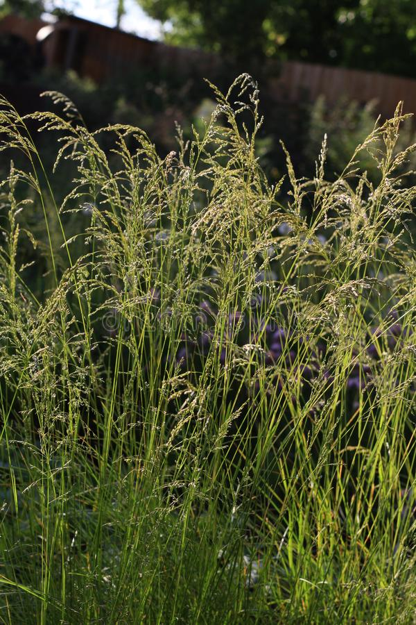 Summer grass in the sunshine close up. On a dark blurred background stock photos