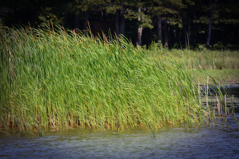 Summer grasses blowing in the wind in a lake green and blue windy day stock photos