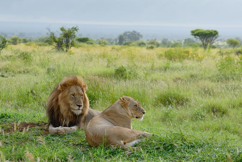 African lion couple gazing into the distant, african savannah. Summer green african savannah with two lions looking right. A male and female lion, evening light stock photo