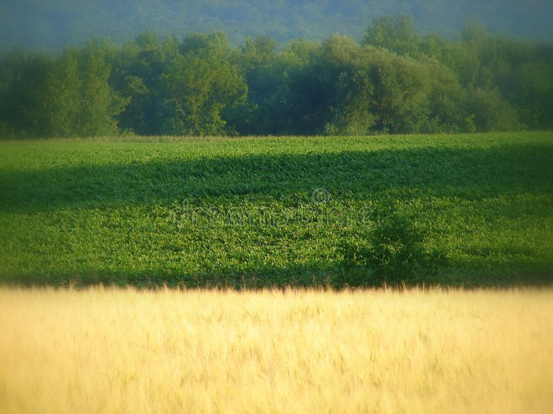 Summer harvest. The wheat is tall and ready to harvest . It is so beautiful at this time of year royalty free stock photography