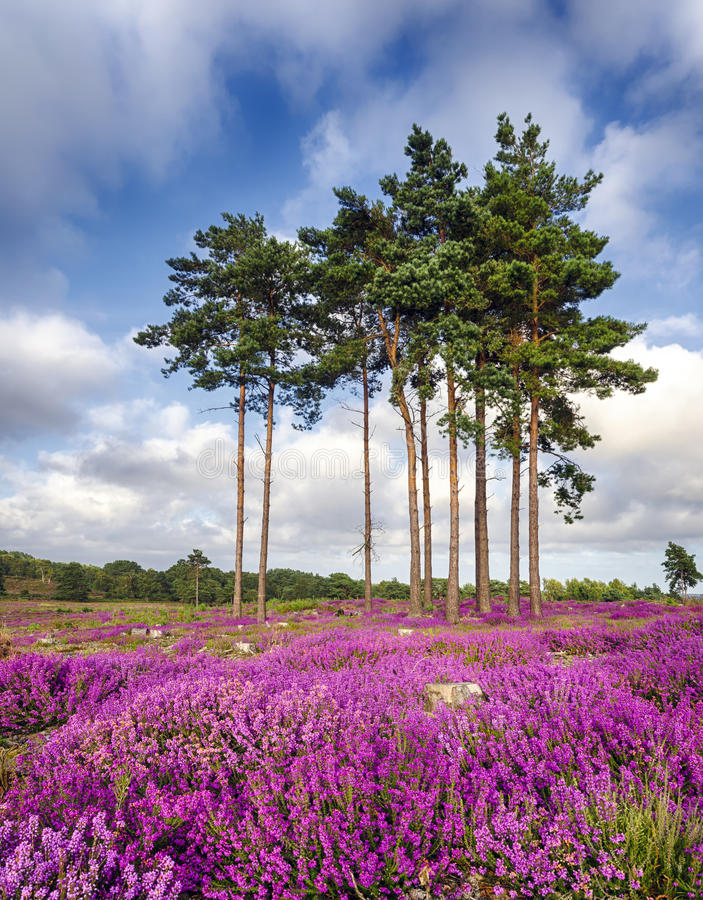 Summer Heather and Pine Trees stock photos