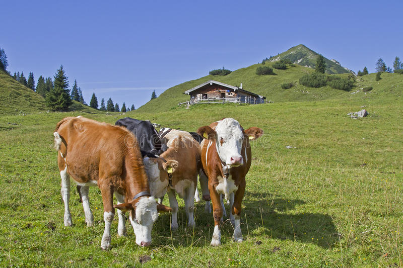 Download Summer in the Hills stock photo. Image of mountains, beef - 26609366