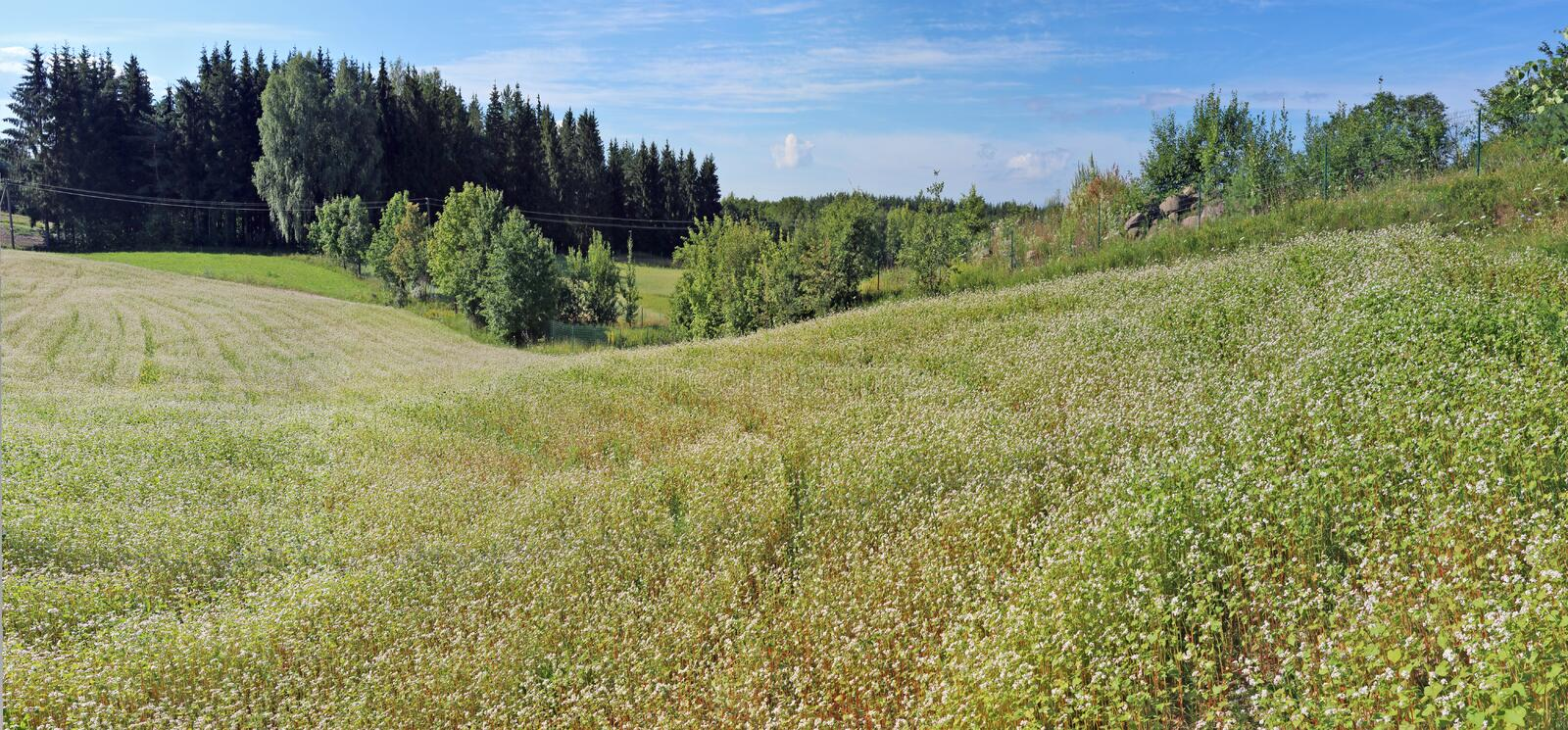 Summer hillsd of blossoming buckwheat agricultural plants. stock photos