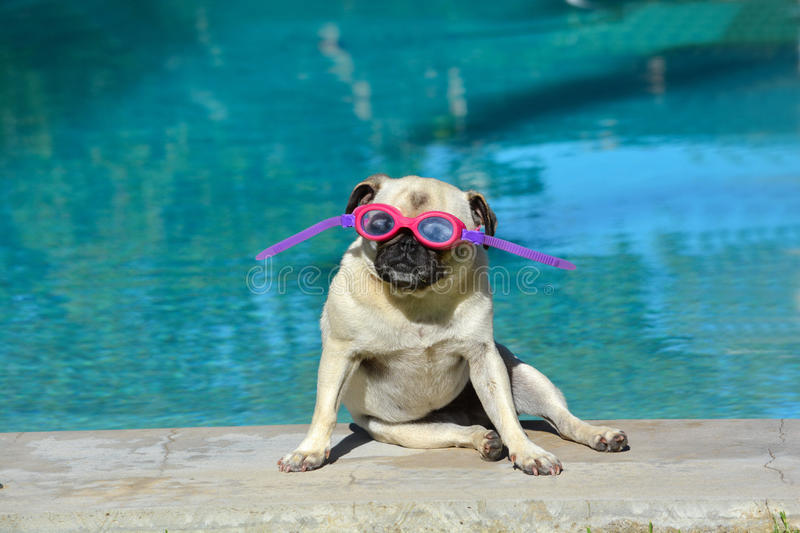 Summer holiday pug dog. A little female pug wearing pink goggles looking straight with attentive facial expression while sitting at the swimming pool in