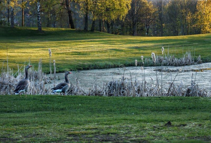 Summer on the horizon. Summer horizon nature pond grass goose trees birds animals golf golfcourse sunset stock photography
