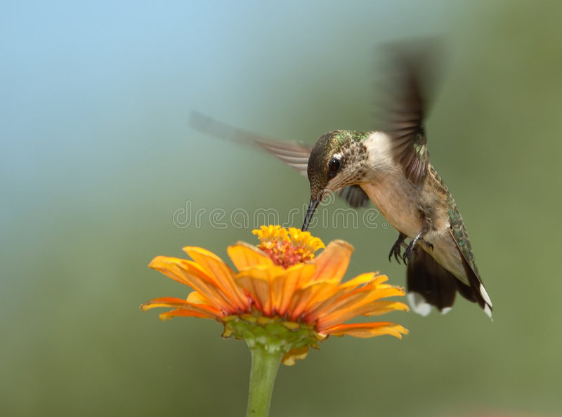 Download Summer Hummer stock photo. Image of black, chinned, hummingbirds - 3326652