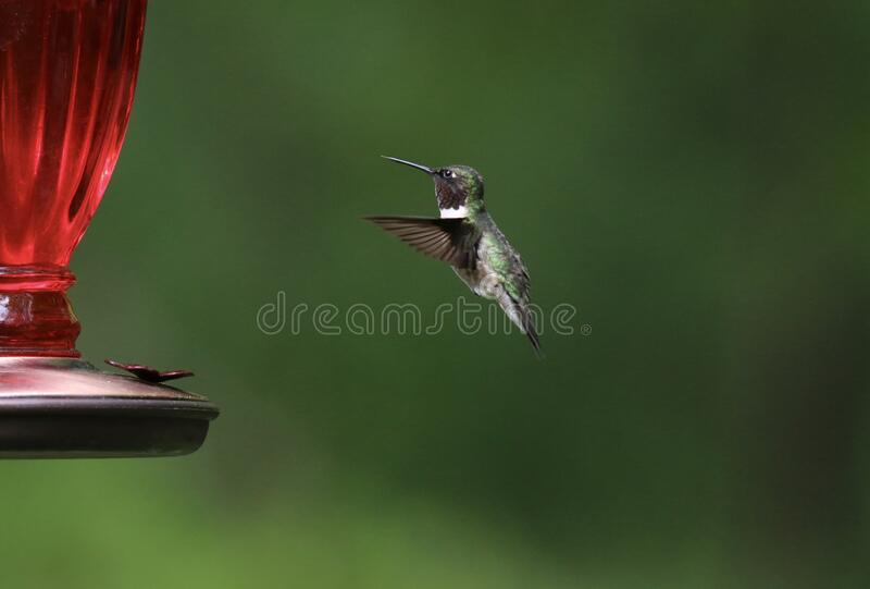 A Summer Hummingbird at the Feeder royalty free stock photography