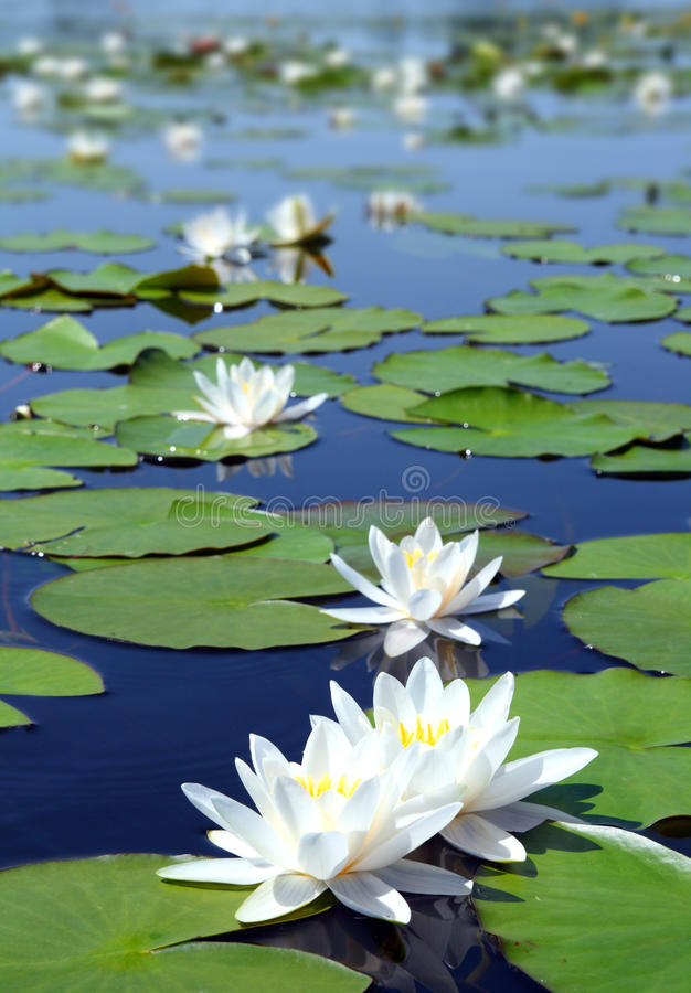 Download Summer Lake With Water-lily Flowers Stock Photo - Image: 11686824