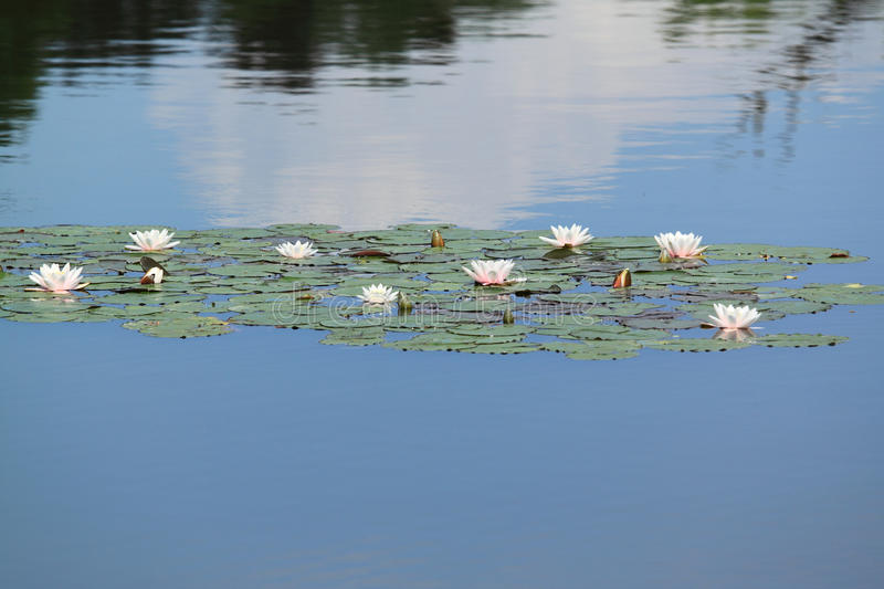 Download Water-lily stock image. Image of summer, white, bloom - 29834331