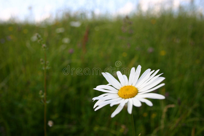 Download Summer landscape stock image. Image of nature, white, flowers - 6435