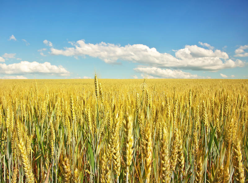 Summer landscape. Summer landscape: a wheat field and blue sky with clouds stock photography