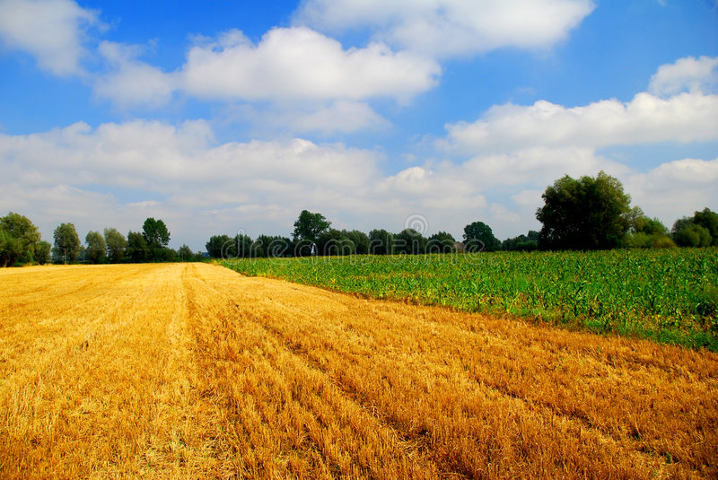 Summer landscape. Green and yellow fields stock images