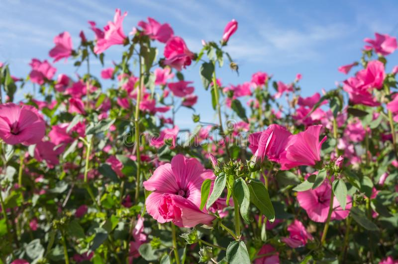 Beautiful background of Pink flowers lavatera in bloom against the blue sky. stock photo