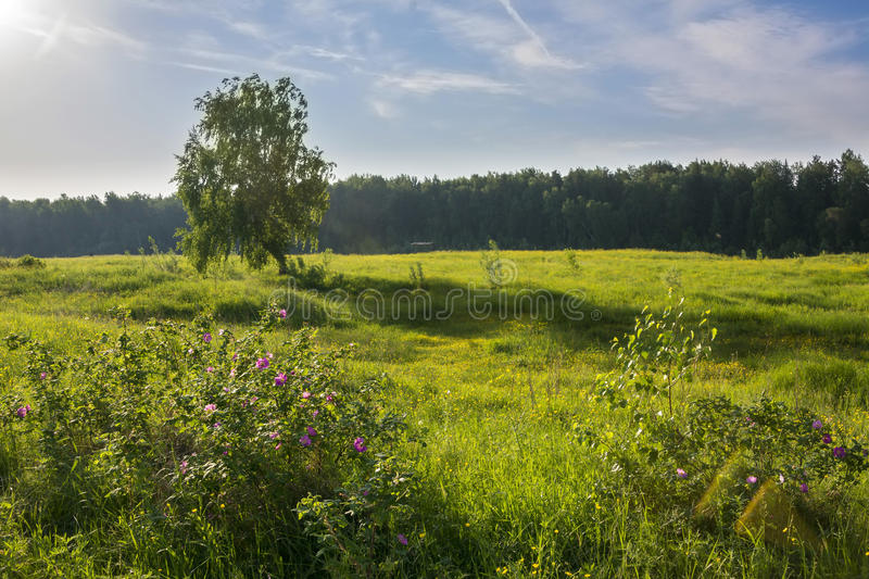 Summer landscape with birch in field. And blossoming flowers of a dogrose royalty free stock images