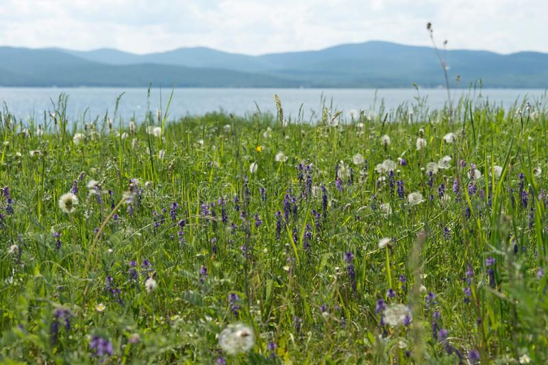 Blooming glade, with different meadow flowers against the background of the lake and mountains in summer. royalty free stock image