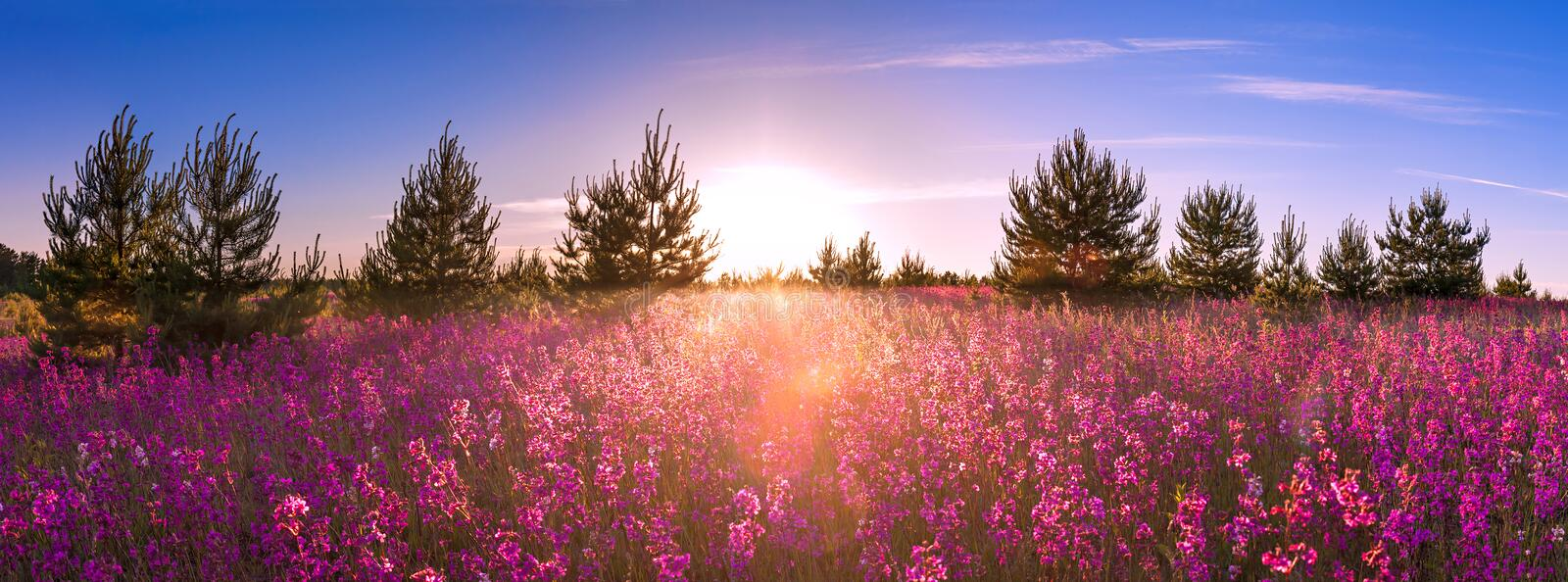Summer landscape with the blossoming meadow, sunrise stock photos