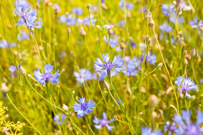 Summer landscape with bright blooming cornflowers in the field stock photos