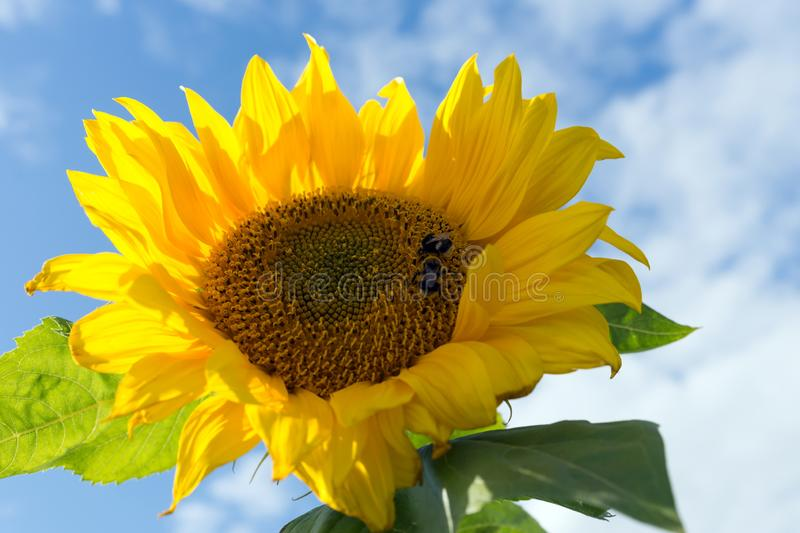 Bumblebees sit on a beautiful blooming sunflower against the sky. Summer landscape. Bumblebees sit on a beautiful blooming sunflower against the sky stock photos