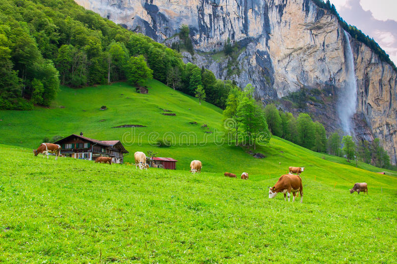Summer landscape with cow grazing on fresh green mountain pastur royalty free stock photos