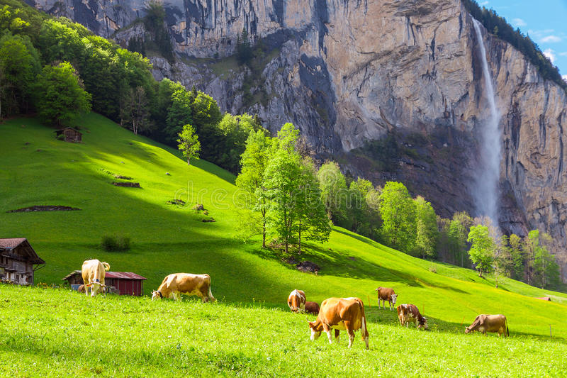 Summer landscape with cow grazing on fresh green mountain pastures. Lauterbrunnen, Switzerland, Europe. stock image