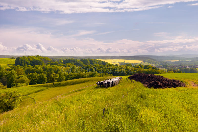 Download Summer Landscape with cows stock photo. Image of forest - 29297046